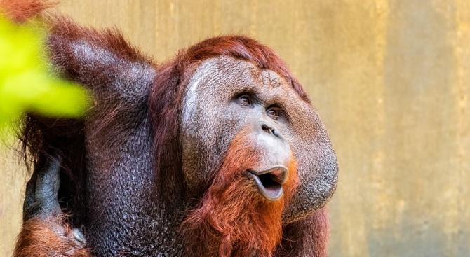 Най-известният орангутан във Франция навърши 50 години. Маймуната е най-старият