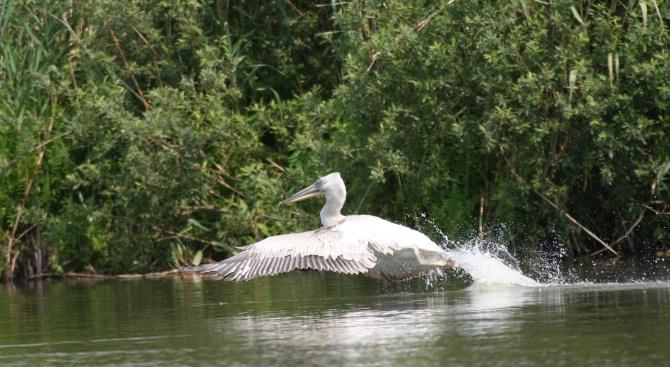 Излюпените в средата на март къдроглави пеликани в Поддържан резерват