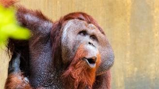 Най-известният орангутан във Франция стана на 50 години