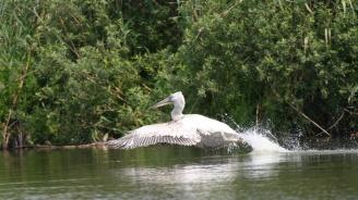 """Първите излюпени пеликани в резерват """"Сребърна"""" вече ловят риба и правят облитания"""