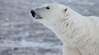 Изгладняла бяла мечка стигна на 800 км от хабитата си