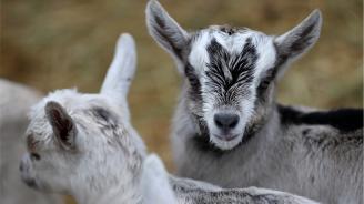Канадци ще щурмуват Гинес рекорд за йога с кози