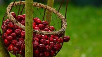 В Кюстендил отбелязват празника на черешата