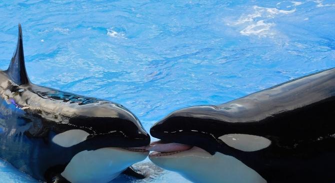 Учени заснеха косатки в зоологическа градина в Испания да докосват