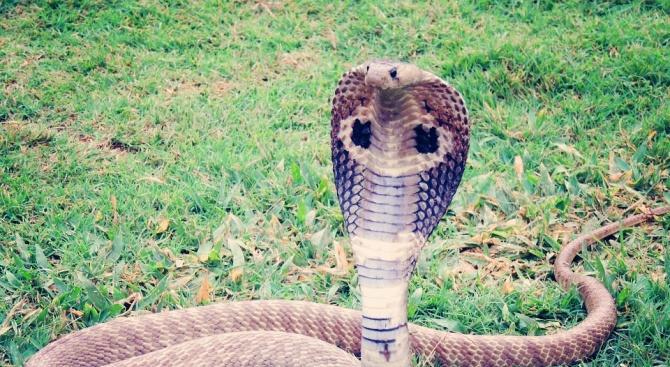 Жена от Пенсилвания уби с лопата кобра, влязла във вътрешния