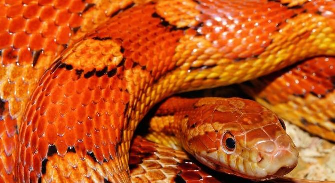 Змия се пропълзя в читалището в Ботевград. Саксофонистът Марин Христов-Христе