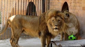 Лъвът Симба от варненския зоопарк е рожденик