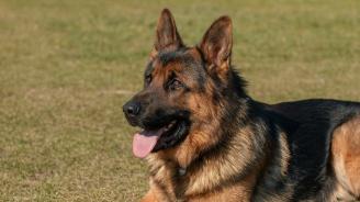 Група кучета нахапаха немска овчарка