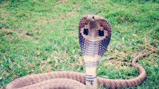 Жена уби кобра с лопата