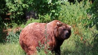 Руснак живял цял месец в бърлогата на ранилата го мечка