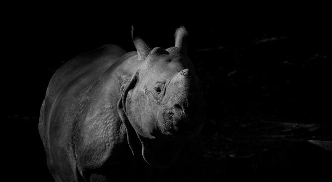 Рядък мъжки черен носорог умря, докато го превозваха от Великобритания