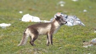 Полярна лисица стигна от Норвегия до Канада за 76 дни