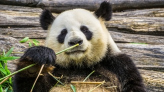 Китай ще наблюдава гигантските си панди със софтуер за лицево разпознаване