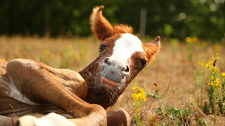 Конче от рядката порода Пржевалски се роди в добричкия зоопарк