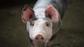 Евтанизирани са 24 домашни прасета в област Плевен заради африканска чума
