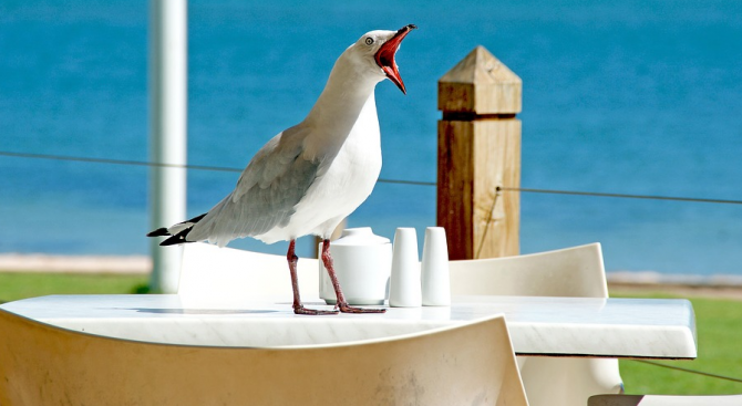 Чайките пренасят устойчиви на антибиотици бактерии