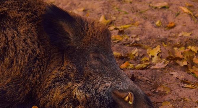 БАБХ съобщи за нови случаи на африканска чума при свине в Плевенско
