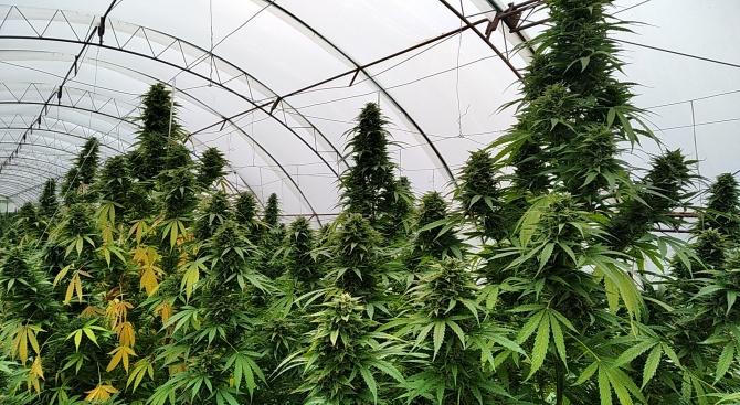 Почти 300 кг канабисови растения са открити при полицейска операция