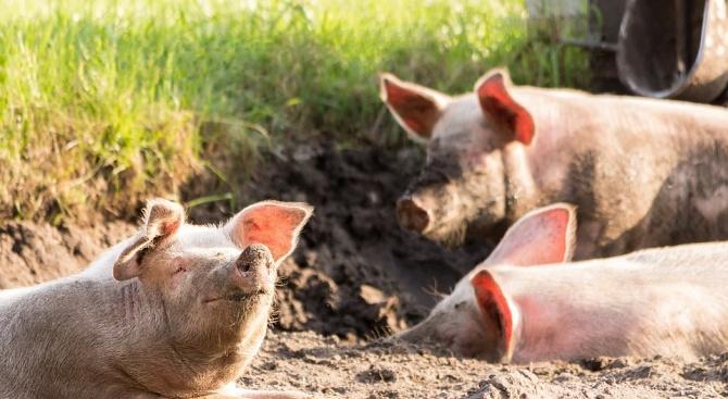 Започна евтаназирането на домашни свине заради потвърждение на африканска чума