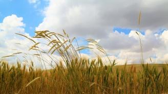 Зърнопроизводителите в Добричкия регион прибраха около половината от пшеничената реколта