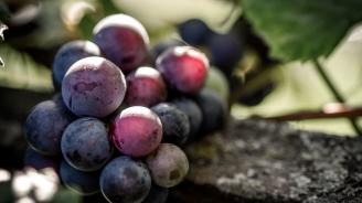 Чепка грозде бе продадена за 11 000 долара на търг в Япония