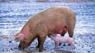 Извънредно заседание на епиозоотичната комисия в Плевен заради чумата по свинете