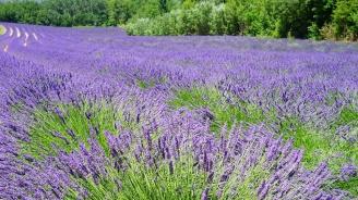 Земеделските стопани в Добричкия регион прибират реколта от лавандула от двойно повече площи