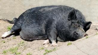 Танева разпореди спешни мерки за ограничаване на африканската чума по свинете