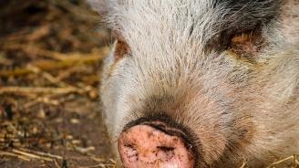 БАБХ потвърди огнище на африканска чума при домашни свине за първи път в Бургаско