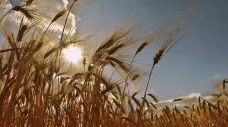 Добра реколта от ечемик и пшеница в Ямболска област