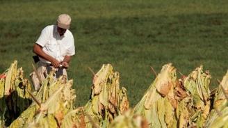 Започва втори прием за обезщетения на тютюнопроизводителите