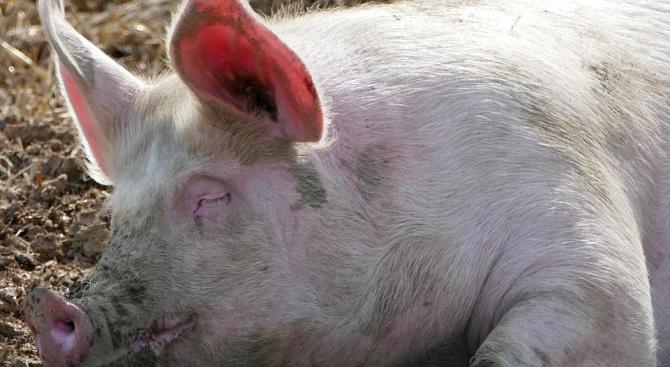 Община Враца предприе превантивни мерки заради случай на Африканска чума при дива свиня