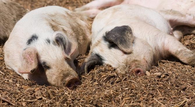 Започна умъртвяването на животните от свинекомплекса в село Николово, в