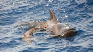 Китовете шепнат на малките си, за да не ги чуят косатките