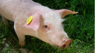 Потвърдиха две нови огнища на чума по свинете в област Русе