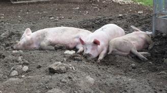 МЗХГ предупреди: Рискът да се разпространи африканска чума по свинете в България е много висок