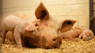 МЗХГ и БАБХ подготвиха видеоклип за повишаване информираността на хората по отношение на болестта африканска чума по свинете