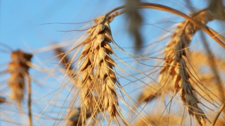 Средният добив от пшеницата в Добричка област надхвърли миналогодишния