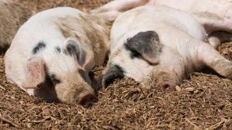Започна умъртвяването на хилядите болни свине в Русенско