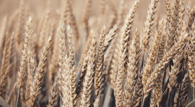 В Разградска област прибирането на пшеницата е към края си,