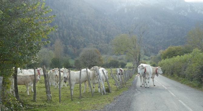 Шофьор блъсна крава на пътя и пострада