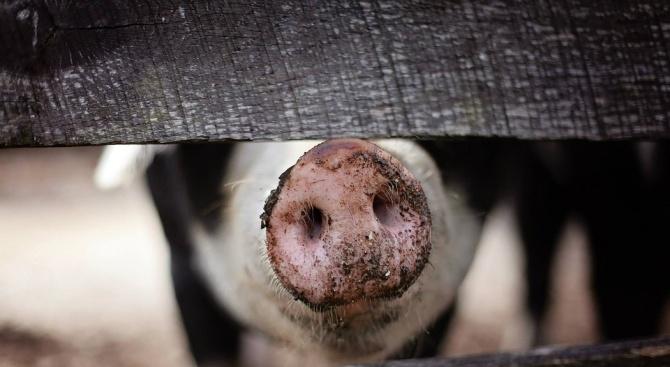 Умъртвяват прасетата в още един свинекомплекс в Русенско