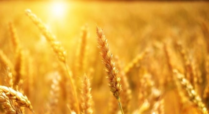 Зърнената реколта в Сливенско е с много добро качество. Това