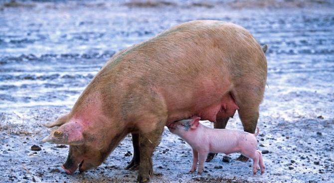 Собствениците на свинеферма в село Козлодуйци в Добричко се решиха
