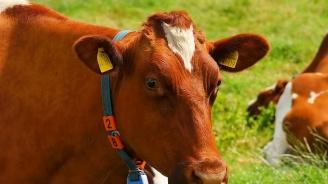 Мистерия около смъртта на животни във френски ферми