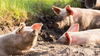 Продължава умъртвяването на животните в свинекомплекса в село Николово