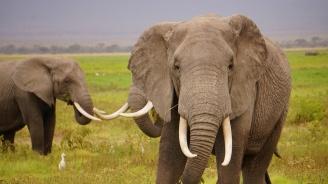 Сингапур задържа рекордно количество слонова кост