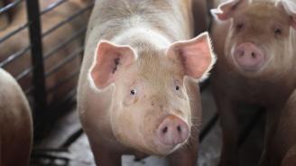 Бедствено положение в Русенска област заради африканската чума по свинете