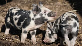 Обявиха бедствено положение в Плевен заради африканската чума по свинете