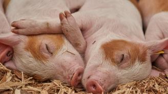 Продължава битката с чумата по свинете у нас